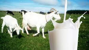 Susu Kambing Memiliki Berbagai Macam Manfaat Yang Baik Untuk Tubuh
